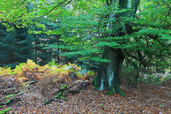 Germany - Reinhardswald (Michael.Kemper) Tags: autumn trees tree green fall forest germany deutschland is hessen herbst fairy usm grn wald bume efs baum tale f28 myth fable mrchen hesse 30d grimm urwald 1755 reinhardswald sababurg canoneos30d gebrder canonefs1755f28isusm