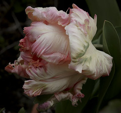 parrot tulip v.3 (Wendy:) Tags: multicoloured tulip april odc apricotparrot