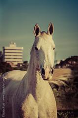 _DSC8747 (Izaias Lus) Tags: brasil caballos photography photographie cavalos equestrian equine nordeste chevaux equino haras equestre garanhunspe