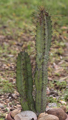 Cereus validus (alloe.) Tags: cereus