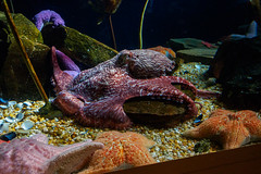 Cold Water Quest - Octopus (Joey Hinton) Tags: georgia aquarium olympus f28 omd m43 mft em5 1240mm microfourthirds
