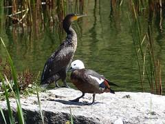 Shag & Paradise Duck (Balancing Kiwi) Tags: newzealand bird native shag paradiseduck