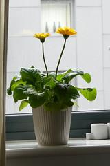 Flower Pot (RobW_) Tags: england flower london pot april friday windowsill wandsworth tooting 2016 15apr2016