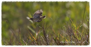 Saltmarsh Sparrow (Ammodramus caudacutus) SALS - Pure Reflex Action on this Low Flying Sparrow...