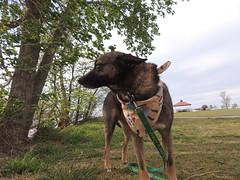 Woody Pinewood (ptcruiser4dogs) Tags: dog lake woody servicedog pinewood