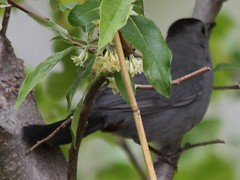 Gray Catbird (lycaenidae_nm) Tags: usgs