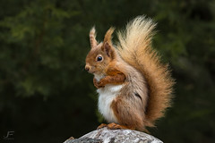 The Prince of Squirrels (Mr F1) Tags: wild cute animal forest mammal rodent prince bushytail redsquirrel