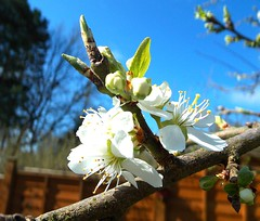 Plum blossom (SAMARA: Back home now!) Tags: forest garden scotland plum april glentrool