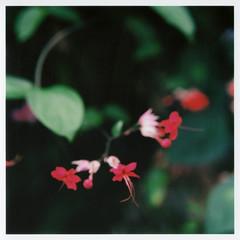 Untitled (Yuta Ohashi LTX) Tags: red flower macro film square bokeh scan hasselblad greenhouse epson  botanicalgarden f28   carlzeiss planer      503cx     cf80mm   ep705a