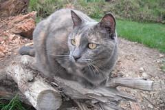 Josie (~ MCJ) Tags: josie rescuecat hyperthyroidism 9yo greybluecreamtortoiseshell treatmentstarted