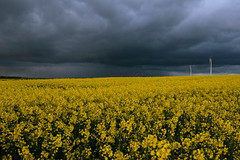 April weather in full effect | Das Aprilwetter macht seinem Namen alle Ehre (rainbowcave) Tags: storm field weather april raps canola rapeseed windrder sturm rapsfeld aprilwetter