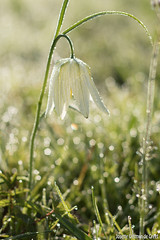 Kievitsbloem-9206-2 (Josette Veltman) Tags: flower bokeh rare bloemen zwolle bloem zeldzaam kievitsbloem kievitsbloemen