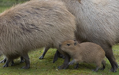 Capybara 2016-04-01-0283 (bzd1) Tags: nature animal mammal natuur capybara rodentia capibara hydrochoerushydrochaeris gaiapark chordata vertebrata hydrochoerus hystricomorpha hydrochoerinae chordadieren gaiazoo vaviidae