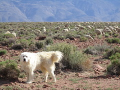 Guarding the Herd (stvpak) Tags: dog animals outdoors sheep sheepdog flock vista herd