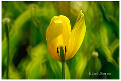 The Green and Yellow--Tulips #9 (Louis Shum) Tags: light canada flower green art nature yellow vancouver bc tulips artistic pentax bokeh canadian pk visualart k10 lovelyphoto