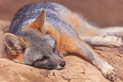 Gray Fox (Cruzin Canines Photography) Tags: california sleeping wild portrait cute nature animal animals rock closeup canon outside mammal outdoors sleep wildlife naturallight canine calm fox wildanimal tamron bakersfield naturepreserve grayfox kerncounty californialivingmuseum 5ds canon5ds eos5ds tamronsp150600mmf563divcusd canoneos5ds