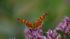 Anglewings (nyanc) Tags: wild color nature netherlands beautiful beauty butterfly insect outside prime spring wings nikon colorful europa europe outdoor d landgraaf nederland natuur sigma insects lepidoptera 5200 28 105 portret lente insekt f28 animalia arthropoda buiten comma limburg vlinder kleurrijk kleur 105mm insecta 2015 vleugels nymphalidae polygoniacalbum polygonia commabutterfly anglewings d5200