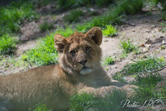 _DSC0193 (Photo-LRC) Tags: nature animal animals zoo lion extrieur carnivore flin fauve beauval zoodebeauval lionceau