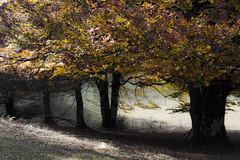 Deixademe morrer no bosque... / Djame morir en el bosque /Let me die in the forest... (Yoli Of Shalott) Tags: naturaleza tree nature forest hojas arbol bosque otoo navarra aralar