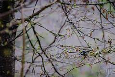 17042016DSC_0083-2.jpg (Ignacio Javier ( Nacho)) Tags: espaa flickr aves es cantabria facebook naturea faunayflora campoolosvalles