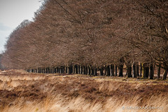 Trees in a row (sebastiaan.dewolf) Tags: trees tree nature field row veluwe 6d