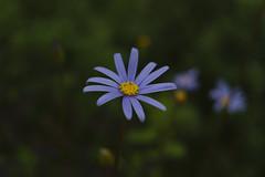 _DSC2055 (Osamu1965) Tags: flower japan zeiss garden spring sony contax jp   okayama     a7m2  carlzeissvariosonnart2870mmf3545mm