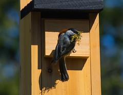 Construction (d.cobb56) Tags: bird season spring nest newengland birdhouse depthoffield chickadee nesting