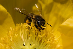 Black and Yellow (Chigrboy2012) Tags: black flower macro up spring close bee pollen yelllow