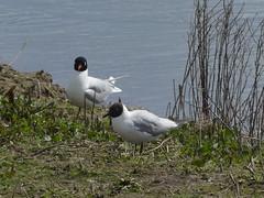 Titchfield Haven, Hampshire 230416 (069) (Photos-Tony Wright) Tags: uk haven black bird nature birds mediterranean wildlife gull reserve hampshire april headed 2016 titchfield