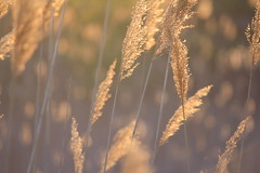 Wheat kings and pretty things (Fritter and Waste) Tags: sunset gold golden pretty bokeh goldenhour