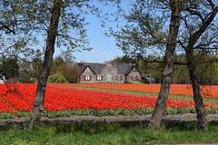 Wassergeest, Lisse, May 1, 2016 (cklx) Tags: red holland yellow spring tulips may tulip april brightcolors tulpen noordwijkerhout tulp lisse 2016 bollenstreek hillegom wassergeest