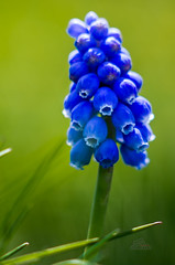 Grape Hyacinth (_Matt_T_) Tags: pentax muscari extensiontubes smctakumar135mmf25 k5iis singlechallenges siapr2016