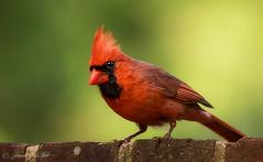 Rain Ruffled (Darrell Duke) Tags: bird cardinal wildlife redbird wildbirds backyardbirds northcarolinastatebird
