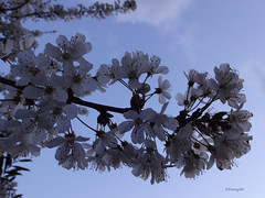 Cherry blossoms in the blue dusk say good night to you (frenziM) Tags: tree nature night garden cherry evening abend twilight nacht blossom dusk poetic soir crpuscule nuit abenddmmerung romantique potique fleursdecerisier poery