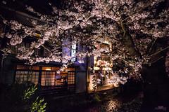 -  (Vince-leo) Tags: plant flower japan night cherry spring kyoto    sakura cherryblossoms kansai           nikond810