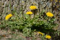 Lwenzahn (Caora) Tags: balticsea april rgen ostsee ruegen