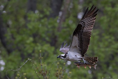 Osprey with meal (NickJaramillo) Tags: nature birds canon newjersey wildlife raptor osprey birdofprey bif sigma150600sport