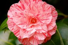 Kamelie (sabine1955) Tags: pink flower natur rosa blte kamelie blossem