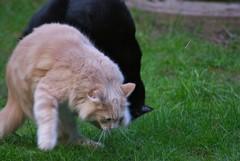 Tom's Fight II (frankbehrens) Tags: cats tom cat chats chat gatos gato katze katzen kater