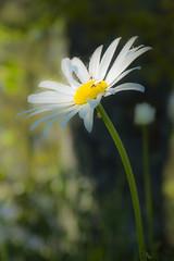 Marguerite A16-0290 (Net Circlion) Tags: macro fleur insecte