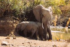 Schatten (felipeepu) Tags: africa shadow elephant south safari südafrika