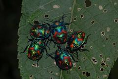 Cotton Harlequin males (dustaway) Tags: male hibiscus malvaceae insecta hemiptera heteroptera cottonharlequinbug tectocorisdiophthalmus scutelleridae tectocoris australianinsects tectocorinae