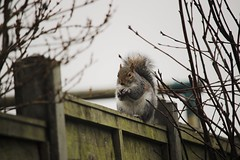 Christmas Day Squirel (eve.jones39) Tags: christmas winter white tree green nature animal fence fur outside grey moss squirel