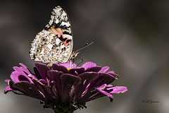 Painted Lady (Nebswanny1) Tags: flower nature floral butterfly insect omaha zinnia paintedlady omahanebraska jeffswanson