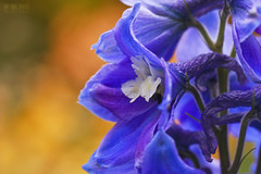 Delphinium (Ian Sane) Tags: show road camera iris two abstract macro floral festival oregon canon garden lens ian photography eos is mark images ii 5d salem usm delphinium brooks keizer sane f28l ef100mm quinaby schreiners