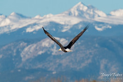 Bald Eagle and the Rocky Mountains. Longmont, Colorado.