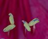 Staubblätter / stamens Ritterstern (Danyel B. Photography) Tags: flower macro focus close blossom bokeh sony 11 sharp stamens petal 25 m42 bloom nah manual blume makro 90mm blüte vivitar a7 lense hippeastrum fokus scharf staubblätter ritterstern