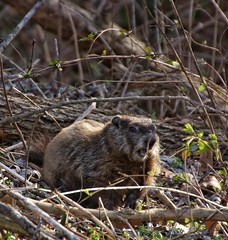 Snacktime (puckish) Tags: woodchuck groundhog pointofrocks