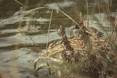 IMG_5880 (Samuele Deiana fidelio86) Tags: sardegna bird nature canon sardinia natura sassari avifauna platamona stagno biodiversit samueledeiana httpwwwflickrcomphotosfidelio86 eos700d