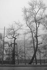 Trees (tutam) Tags: trees blackandwhite bw fog finland helsinki mannerheimintie